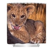Shy African Lion Cub Wildlife Rescue Shower Curtain