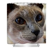 Siamese Cat Peers Into Unknown Shower Curtain
