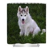Siberian Huskie Pup Shower Curtain