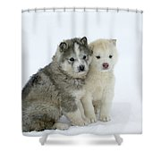 Siberian Husky Puppies Shower Curtain
