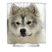 Siberian Husky Puppy Shower Curtain