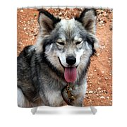 Siberian Husky With Blue And Brown Eyes Shower Curtain