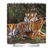 Siberian Tiger Cub Guarding Mom Wildlife Rescue Shower Curtain