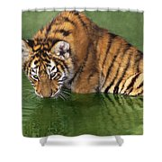 Siberian Tiger Cub In Pond Endangered Species Wildlife Rescue Shower Curtain
