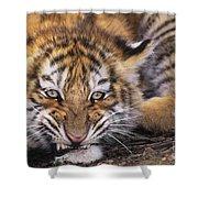 Siberian Tiger Cub Panthera Tigris Altaicia Wildlife Rescue Shower Curtain