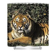 Siberian Tiger Endangered Species Wildlife Rescue Shower Curtain