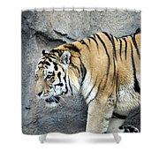 Siberian Tiger Panthera Tigris Altaica Usa Shower Curtain