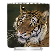 Siberian Tiger Portrait Endangered Species Wildlife Rescue Shower Curtain