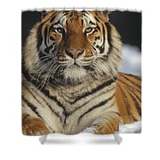 Siberian Tiger Portrait In Snow China Shower Curtain
