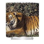 Siberian Tiger Stalking Endangered Species Wildlife Rescue Shower Curtain
