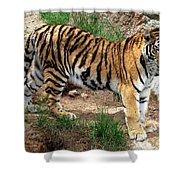 Siberian Tiger - Standing Shower Curtain