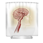 Side View Of Human Brain Showing Shower Curtain