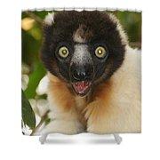 sifaka from Madagascar 8 Shower Curtain