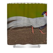 Silver Pheasant In Strutting Pose Shower Curtain