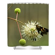 Silver-spotted Skipper On Buttonbush Flower Shower Curtain