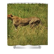 Single Cheetah Running Through The Grass Shower Curtain