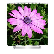 Single Pink African Daisy Against Green Foliage Shower Curtain
