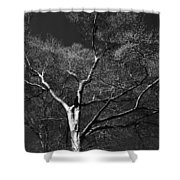 Single Tree With New Spring Leaves In Black And White Shower Curtain