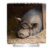 Sleeping Pig Shower Curtain