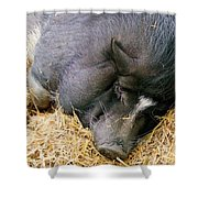 Sleeping Sow Shower Curtain