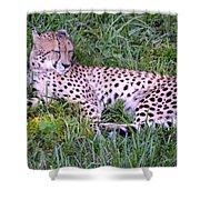 Sleepy Cheetah Shower Curtain