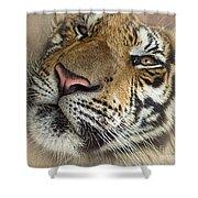 Sleepy Tiger Portrait Shower Curtain