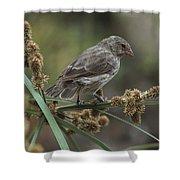 Small Ground-finch Female Feeding Shower Curtain