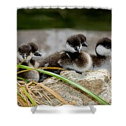 Smew Ducklings On Shore Shower Curtain