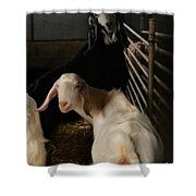 Smiling Goats  Shower Curtain