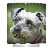 Smiling Schnauzer Shower Curtain