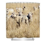 Smiling Sheep Shower Curtain