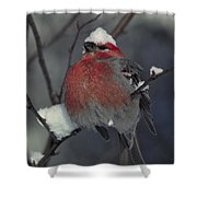 Snow Covered Pine Grosbeak Shower Curtain
