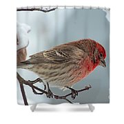 Snow Day Housefinch  Shower Curtain