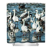 Snow Geese Discussion Shower Curtain