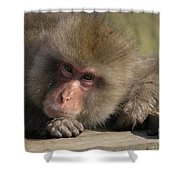 Snow Monkeys-just Hanging Out Shower Curtain