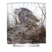 Snowy Owl In Florida 13 Shower Curtain