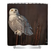 Snowy Owl Pictures 64 Shower Curtain