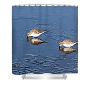 Snowy Plovers Shower Curtain