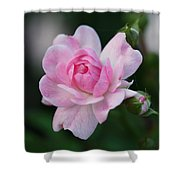Soft Pink Miniature Rose Shower Curtain by Rona Black