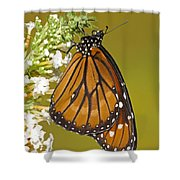 Soldier Butterfly Danaus Eresimus Shower Curtain