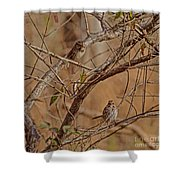 Song Sparrows Shower Curtain