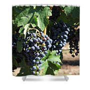 Sonoma Vineyards In The Sonoma California Wine Country 5d24630 Square Shower Curtain