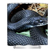 Southern Black Racer Coluber Priapus Shower Curtain