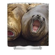 Southern Elephant Seal Pair Calling Shower Curtain by Konrad Wothe