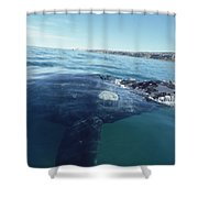 Southern Right Whale At Surface Shower Curtain