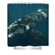 Southern Right Whale Calf Valdes Shower Curtain