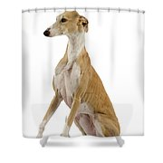 Spanish Galgo Shower Curtain