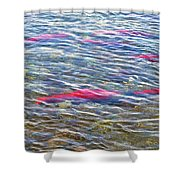 Spawning Salmon In Moraine River In Katmai National Preserve-ak Shower Curtain