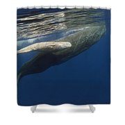 Sperm Whale Mother And Albino Baby Shower Curtain