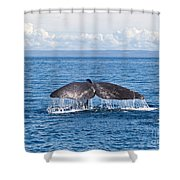 Sperm Whale Tail  Physeter Catodon Shower Curtain
